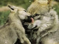 mother wolf and pups | Found on harmony-n-nature.tumblr.com