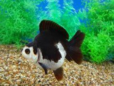 Goldfish Auction 4/10/13