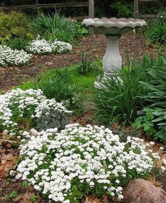 """candytuft, 6-10"""", Dark green mounding foliage with many flower clusters. Suited for edging, borders, and rock gardens. Blooms in spring. 'Tahoe' white, 'Sweetheart' pink"""