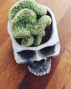 I've been growing this brain cactus for quite a while in this skull planter, after several years in a regular plastic pot - it does so much better in this Succulents In Containers, Cacti And Succulents, Planting Succulents, Echeveria, Cactus Flower, Flower Pots, Orchid Cactus, Cactus Cactus, Skull Planter