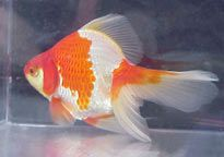 Goldfish ^.^   different types
