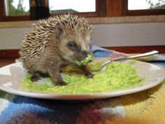 Funny Animal Pictures - View our collection of cute and funny pet videos and pics. New funny animal pictures and videos submitted daily. Hedgehog Diet, Cute Hedgehog, Happy Hedgehog, Baby Animals, Funny Animals, Cute Animals, Wild Animals, Armadillo, Guacamole