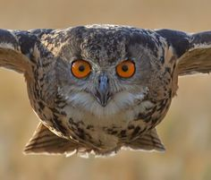Image detail for -... years owls were the dominant group of owls in southern europe and