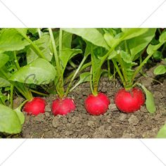 Radishes Growing In Soil/ATTRACTS: Cabbage White Butterflies. Plant with Carrots which attract Black Swallowtail Butterflies.Plant in full sun only. Plant carrot seeds below radish seeds, harvest Radish first, then the Carrots.