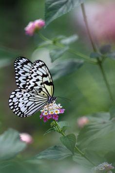 Butterfly noir et blanc verkleiden ~Watercolors In The Rain~ Bokeh Most Beautiful Butterfly, Beautiful Birds, Beautiful World, Butterfly Kisses, Butterfly Flowers, Flying Flowers, Butterfly Pictures, Butterfly Wallpaper, Beautiful Creatures