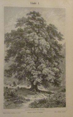 1896 LINDE I. und II. 2 Original Drucke Antique Print Lithographie