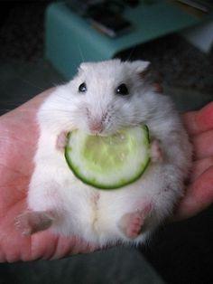 Pudgy hammie enjoying veggies :-)