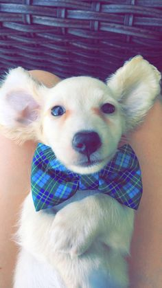 Have you ever seen a cuter bowtie? Animal Antics, Corgi, Cute Animals, Presents, Meet, Secretary, Education, Pretty Animals, Gifts