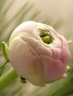 Ranunculus by Bastiaan L.