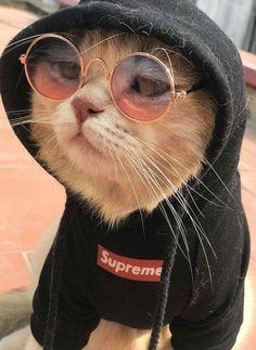 Самые гламурные котики в Сети. Они просто бесподобны! | Brain Berries
