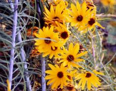 Google Image Result for http://www.easywildflowers.com/quality/hel.sa15.jpg -- this is Willleaf Perennial Sunflower.