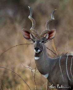 The Lesser Kudu (Ammelaphus imberbis, formerly Tragelaphus imberbis) by larsfoto.se: Formerly thought to be a smaller version of the Greater Kudu, it is now considered to be a much more primitive species, whose evolutionary line diverged as long as 10 million years ago. Unlike the Greater Kudu which is one of the slowest antelopes, the Lesser Kudu is one of the fastest,  reaching running speeds of around 100km/hr. via http://en.wikipedia.org/wiki/Lesser_kudu  #Lesser_Kudu #larsfoto_se…