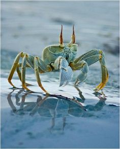 a blue crab strolling by the beach