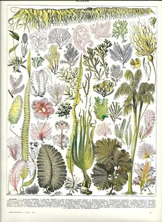 """SEAWEED botanical illustration from Poster - French Color Dictionary - 1930"""""""