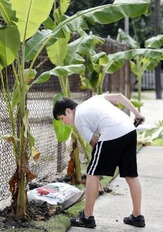 How to grow banana trees.