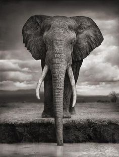 Nick Brandt. Elephant drinking, Amboseli, 2007. Killed by Poachers, 2009.