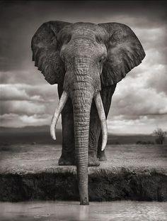 Nick Brandt. Elephant drinking, Amboseli, 2007. Killed by Poachers, 2009.                                                                                                                                                                                 More
