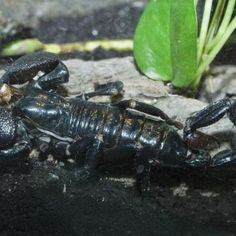 Common emperor scorpion at Oregon Zoo Portland, OR #Kids #Events