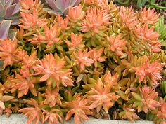 Sedum nussbaumerianum • Coppertone Stonecrop • Cactus/Succulents • hardy to 25 degrees, little water, full sun, fragrant white flowers bloom winter through spring