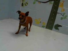 Chihuahua dog for Adoption in Moreno Valley, CA. ADN-709749 on PuppyFinder.com Gender: Male. Age: Adult