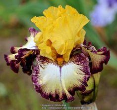 TB Iris germanica 'High Desert' (Keppel, 2015)