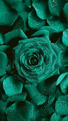 Rare Roses, Words Quotes, Florals, Teal, Bloom, Walls, Wallpapers, My Favorite Things, Green