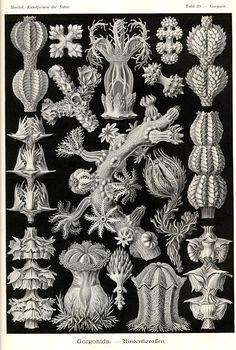 Ernst Haeckel, Kunstformen der Natur (1904), Tafel 39