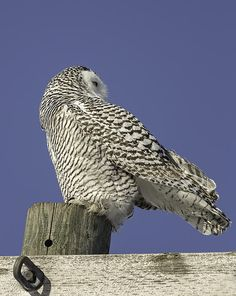 We are seeing more Snowy Owls migrating into Wisconsin this year but that does not make them easy to find or photograph. This is my fourth year my wife and i have searched for the elusive Snowy Owl. This is the year of the owl for us as we finally located a few owls! It took many miles and hours but it was worth it! Owl Pics, Owl Pictures, Owl Head, Wise Owl, Snowy Owl, Owl Art, Beautiful Birds, Ducks, Wisconsin