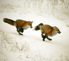 original photo - foxes