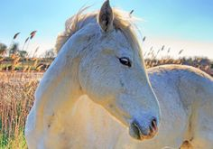 Camargue Horse by Wolfgang Staudt Disney Activities, Animal Magic, White Horses, Horse Pictures, Horse Head, Horse Love, Horse Breeds, Most Romantic, Beautiful Horses