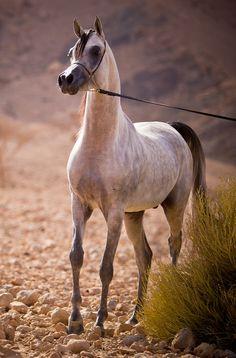 Arabian Horses of Al Zobair Stud - News
