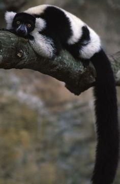 Le varecia variegata Ce lémurien se rencontre dans les forêts tropicales humides de l'île de Madagascar. Classée en danger critique d'extinction, l'espèce aurait subi une baisse de sa population de 80% sur une période de 21 années. En cause, la diminution de son habitat entraînée par l'exploitation forestière et minière, l'agriculture massive et la chasse. Photo : SIPA