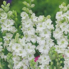 Larkspur 'White King' is an annual delphinium which flowers longer and harder than the perennial forms, with dense flower spikes in pure white. It has an excellent vase life too, looking good for ten days if kept cool.
