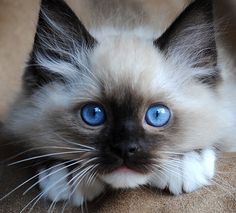 Ragdoll kitten   I believe that u never like cats till u get one so don't spend the rest of your life hating cats and get the courage to get one I recommend getting a ragdoll cat as they act just like dogs !! ❤️❤️