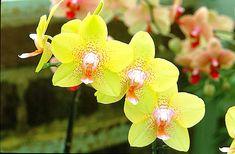 La phalaénopsis, orchidée à la longue hampe florale, produit des keikis, sorte de stolons. Rempotez-les pour obtenir de nouveaux plants de cette plante fleur...