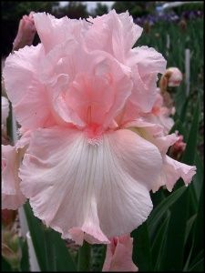 flowersgardenlove:  perfectly pink iris Flowers Garden Love