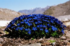 Expertly lead, small-group wildlife holidays/tours to MARITIME ALPS, professionally organised by Greentours (est. Rock Flowers, Unique Flowers, Butterfly Flowers, Flowers Nature, Blue Flowers, Wild Flowers, Beautiful Flowers, Alpine Flowers, Alpine Plants