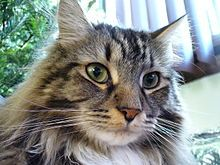 """Maine Coons are one of the largest breeds of domestic cat. Males weigh from 15 to 25 lb (6.8 to 11 kg) with females weighing from 10 to 15 lb (4.5 to 6.8 kg).[17] The height of adults can vary between 10 and 16 in (25 and 41 cm) and they can reach a length of up to 40 in (100 cm), including the tail, which can reach a length of 14 in (36 cm)[18] and is long, tapering, and heavily furred, almost resembling a raccoon's tail. Maine Coons are known as the """"gentle giants""""[2] and possess above-average intelligence, making them relatively easy to train."""