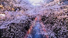 目黒川夕桜 | GANREF #桜 #CherryBlossom