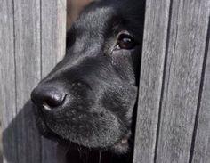 Jolien GuytNLV - Nederlandse Labrador Vrienden