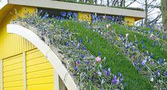 Крыши небольшого павильона украшает полотно газона и мелколуковичные растения — мускари, видовые тюльпаны, анемоны.