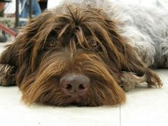 Korthals Griffon / Wirehaired Pointing Griffon / Gun Dog