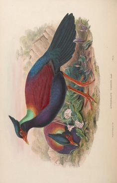more@ - 1850 - Birds of Asia / by John Gould