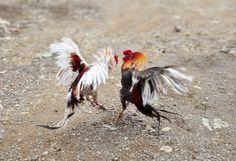 Cockfighting at Dominicana