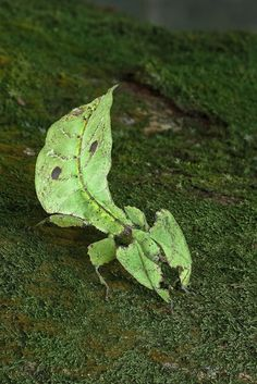 Leaf insects occur from South Asia through Southeast Asia to Australia. At present, there is no consensus as to the preferred classification of this group, but they are generally treated as the Family Phylliidae.