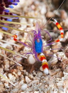 The Shrimp With Candy Cane Claws!
