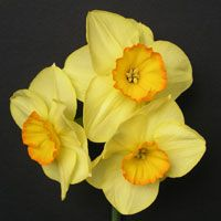Scamps Daffodils grows all classifications of daffodil bulbs from their fields in Cornwall. A family owned Cornish business for over 25 years winning gold at the RHS Garden shows year after year.