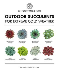 8 Types of Outdoor Succulents for Extreme Cold Weather Sempervivum Succulent Outdoor, Succulent Care, Succulent Gardening, Outdoor Plants, Air Plants, Outdoor Gardens, Organic Gardening, Succulent Terrarium, Zone 5 Plants
