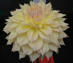 "Westerton Lilian.  Large-Flowered Decorative Dahlia.  Decorative dahlias have fully double blooms showing no disc. The ray florets are generally broad and flat and may be involute for no more than 75% of their length (longitudinal axis) or slightly twisted, and usually bluntly pointed, with blooms between 8"" (203mm) and 10"" (254mm) in diameter."