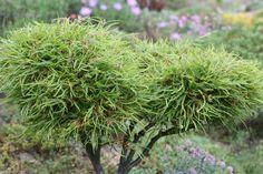 Fagus sylvatica 'mercedes', petit arbre qui se taille bien, ideal pour des topiaires 'ébourrifés'!